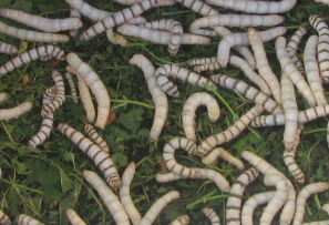 mature larvae silk